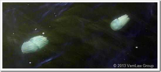 JellyFishIMG2371