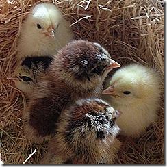 Chicks 007