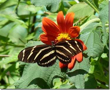 Regardless Of Their Garden Habit, These Are Great Plants In A Butterfly  Garden. They Bloom Happily Starting In Spring, And Will Often Reseed  Themselves For ...