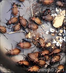 Guldbaggar.