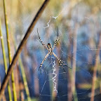 Xudum  Lodge, Riesenradnetzspinne © Foto: Ulrike Pârvu | Outback Africa Erlebnisreisen
