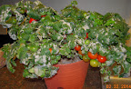 14 week coirstone dwarf tomatoes - harvesting left plant, not yet right plant