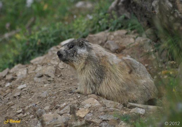 Marmota (16)