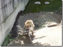 2012.06.02-030 hyène