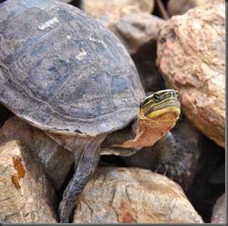 turtle Calauit Safari park