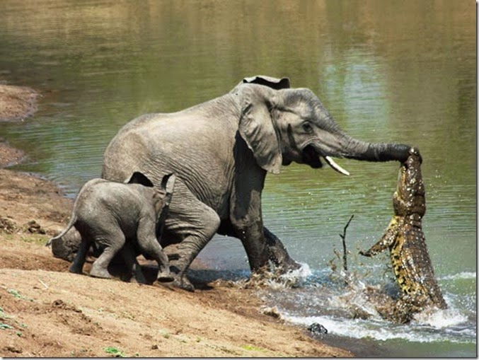 elephant with a crocodile