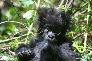 Gorille de montagnes dans la Virunga, Nord Kivu, 2004.