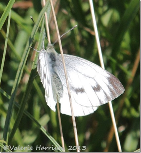 33-green-veined-white