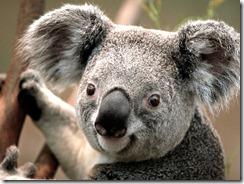 Koala fade in