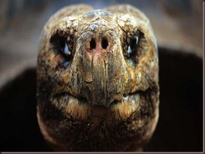 Amazing Animals Pictures Pinta Island tortoise (1)