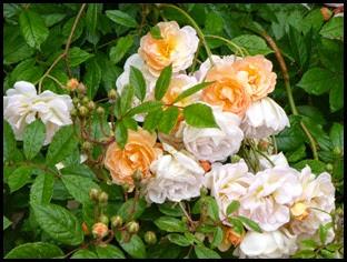 m roses