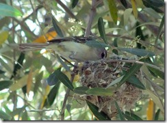 Bell's vireo nest in olive tree 4-22-2013 9-55-32 AM 3616x2712