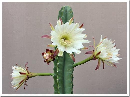 110817_Cereus-hildmannianus-subsp-hildmannianus-3-flowers_12