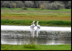 06 - Pair of White Pelicans on Lower Myakka River