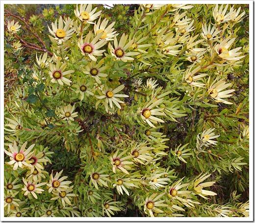 120211_UCSC_Arboretum_Leucadendron-discolor-Cloudbank-Ginny_01
