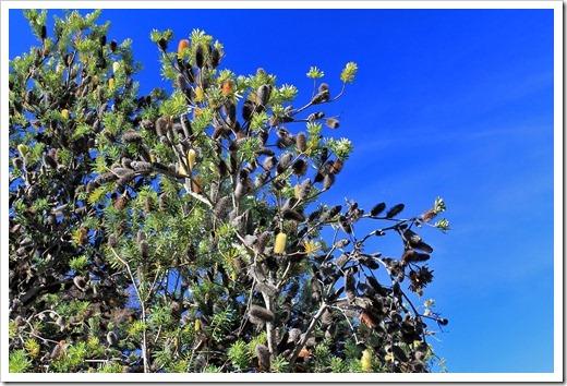 121027_UCSCArboretum_Banksia-marginata_04