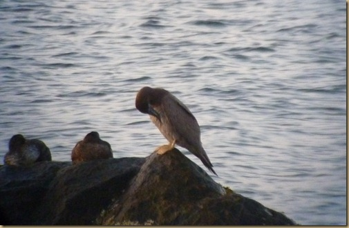 Brown Booby_004
