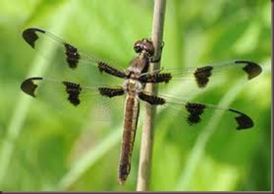 Amazing Pictures of Animals, photo Nature, exotic, funny ,incredibel Zoo, Dragonfly, Insecta, Alex (1)