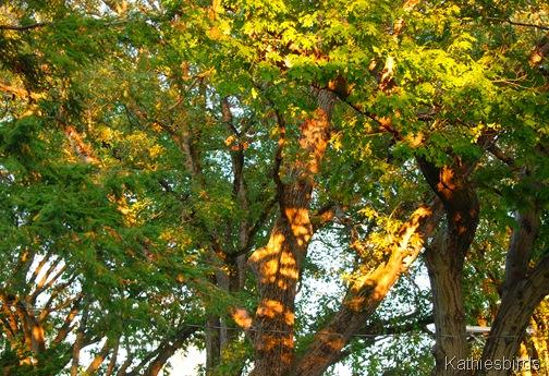 3. oak trees-kab
