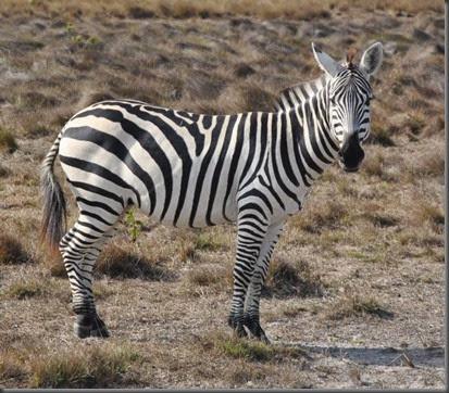 zebra Calauit Safari park