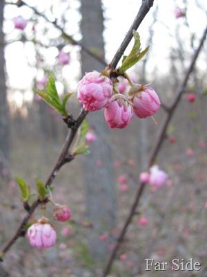 Double Flowering Plum April 30