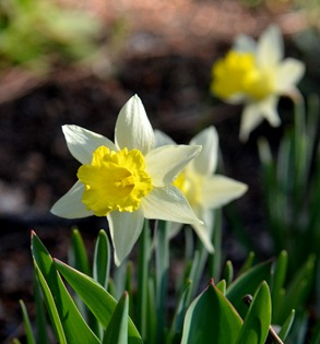 I love these tiny daffodils