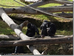 Chimpanzees, Taronga Zoo
