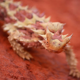 Thorny Devil  by Rachael Hunker - Animals Reptiles ( red sand, australia, thorny, thorny devil, australian reptile )