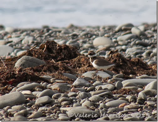 25-ringed-plover