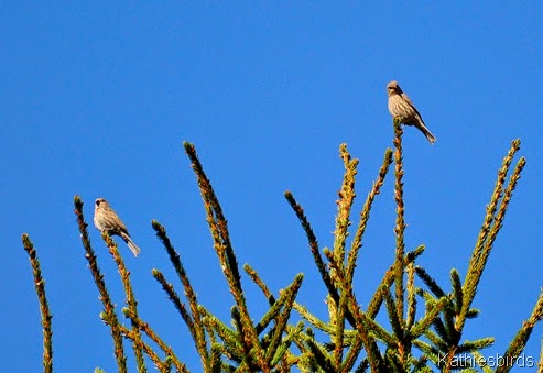 3. 10-6-14 house finches-kab