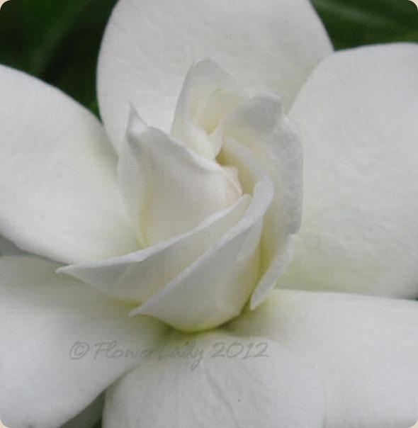 05-13-first-gardenia2