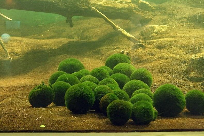 marimo-moss-balls-6