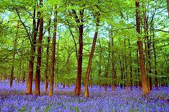 blueflowergreentree.306490376_19a923ebb5_m.jpg