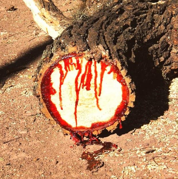 bloodwood-tree-4