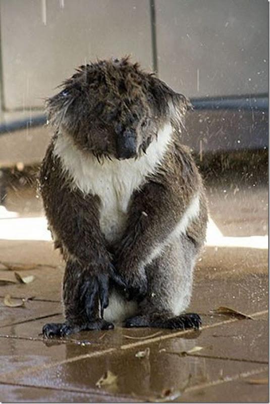Adoraveis Koalas (10)