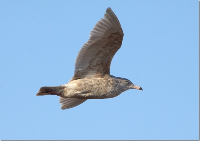 glauc2