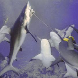 Shark Chomp by Steve Smith - Animals Sea Creatures ( underwater, feeding, action, eating, shark, bahamas,  )