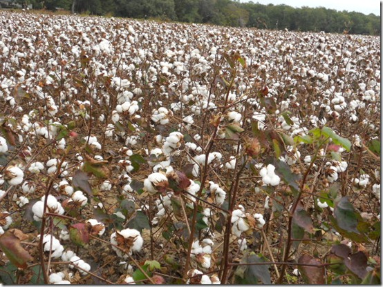 cotton 033