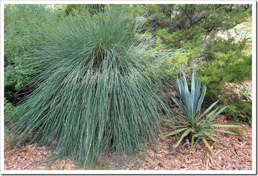Muhlenbergia-lindheimeri- -Yucca-pallida
