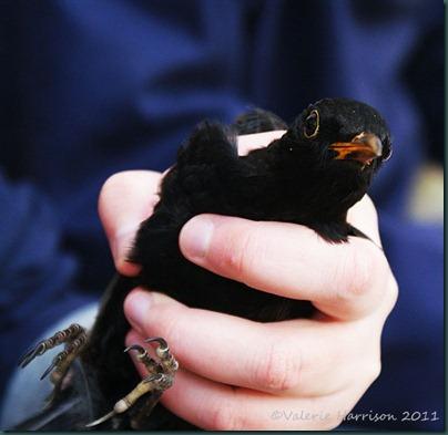 3-blackbird