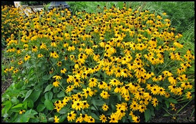 black-eyed-susan2