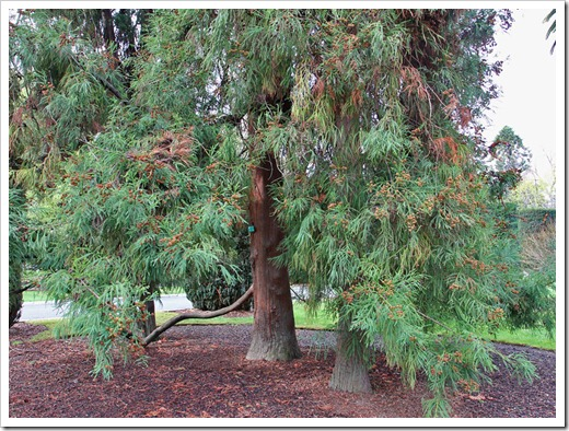 120317_Capitol_Park_Cryptomeria-japonica_09
