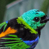 Lindo demais!!! -Saíra de 7 cores -  Guaratuba, São Paulo - Brasil