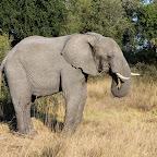 Elefant auf Chief's Island © Foto: Ulrike Pârvu   Outback Africa Erlebnisreisen