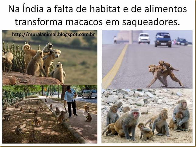 macacos-india