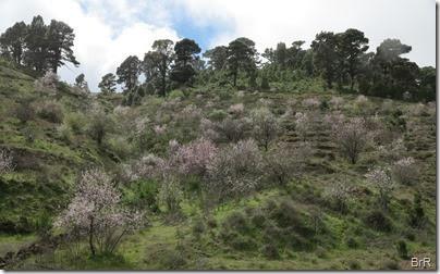 blühende_mandelbäume