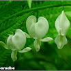 Dicentra spectabilis (Linn.) Lem.  (3).jpg
