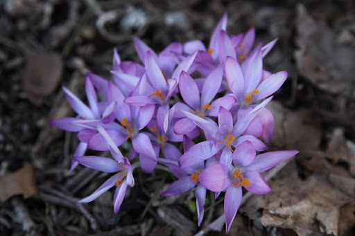 And just look at these crocus!