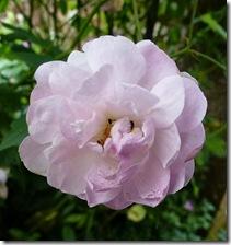 bhd pink rose