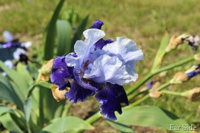 Iris at the cemetery